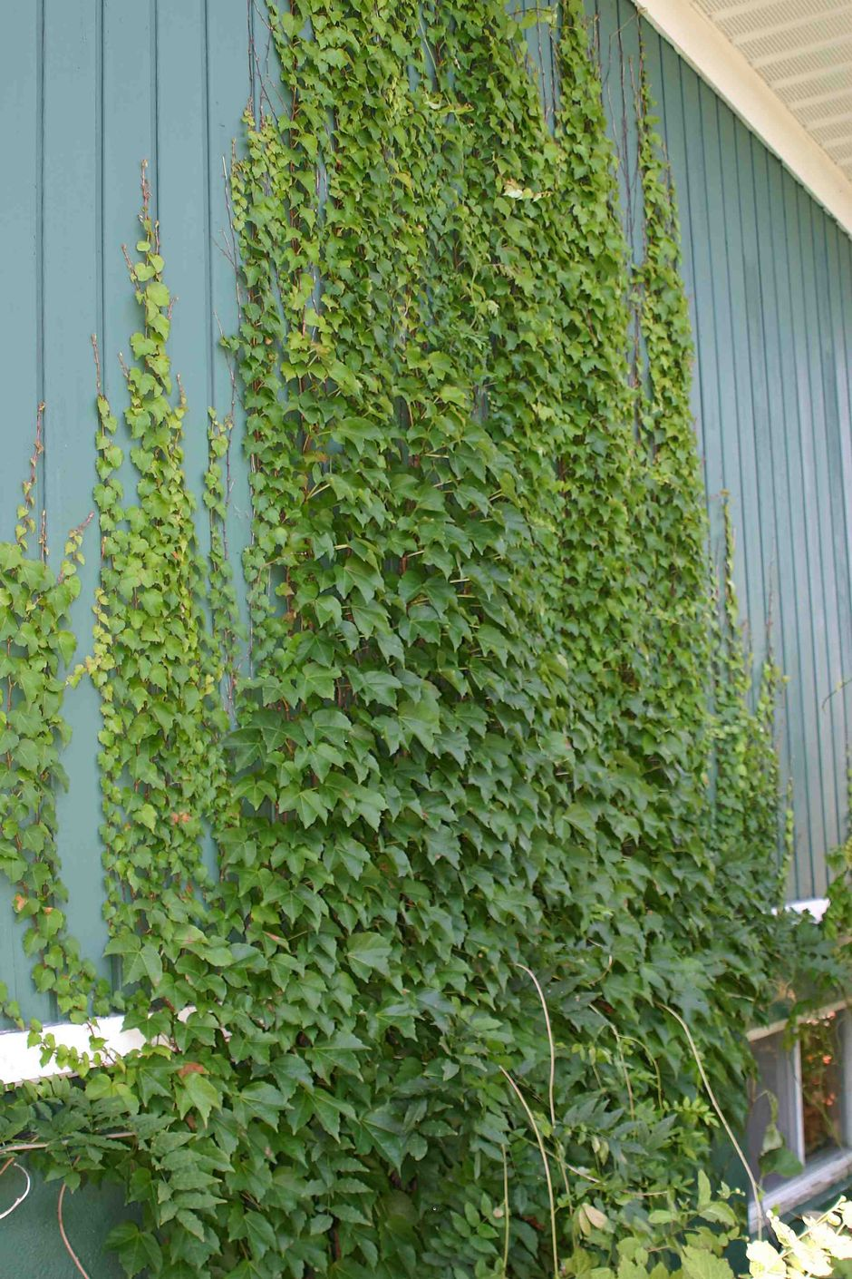 Marvelous Indoor Vines And Climbing Plants Decorations 20